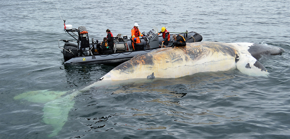 Warming Atlantic Drives Right Whales Towards Extinction